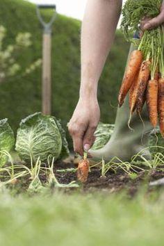 Fever in Your September Veggie Garden! Beauty of gardening.soilBeauty of gardening. Planting Vegetables, Growing Vegetables, Fruits And Vegetables, Vegetable Gardening, Growing Carrots, Veggie Gardens, Garden Soil, Garden Path, Autumn Garden