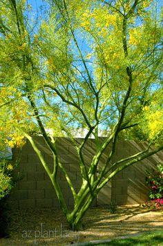 Desert Museum Palo Verde tree #tucsonazrealestate | #previewtucsonhomes