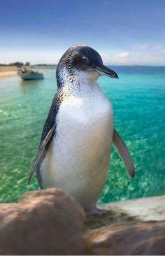 Penguin Island, Perth, Australia
