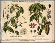 Ausländische Culturpflanzen in bunten Wand-Tafeln I. Abtheilung