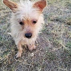 New York, NY - Terrier (Unknown Type, Medium). Meet Peter a Dog for Adoption.