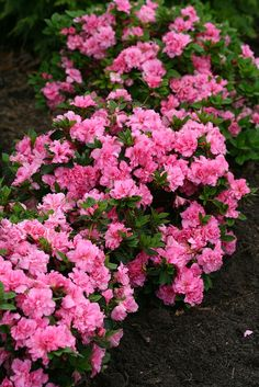 Not only are the ruffled pink flowers of Bloom-A-Thon Pink Double reblooming azalea super showy, but it is also the longest blooming in the series with over 20 weeks of color.
