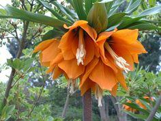 keiser krone - fritillaria imperialis