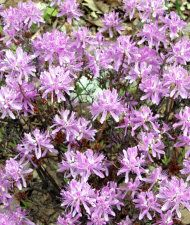Kanadanatsalea 'Violetta' (Rhododendron canadense) Plants, Plant, Planets