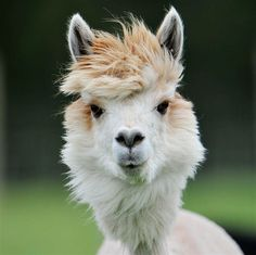 funny alpacas with awesome amazing hilarious hair (14)