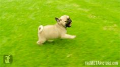 Happy pugs are happy…  (Animated, click on website)