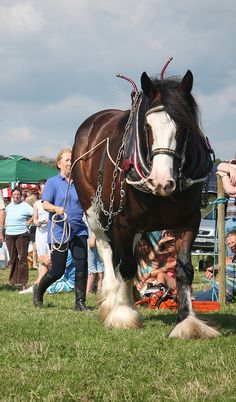 Ruby the working Clydesdale draft horse.