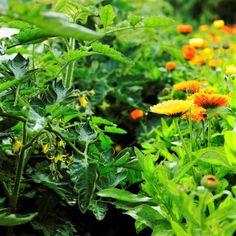 11rad, jak předcházet plísňovým chorobám rajčat: plísni bramborové (Phytophthora infestans)a plísni šedé(Botrytis cinerea) nebolo šedé hniloby rajčat Herbs, Gardening, Plants, Garten, Herb, Flora, Plant, Lawn And Garden, Planting
