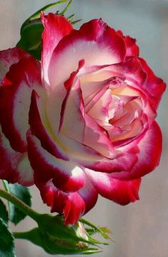 If you are thinking of rose gardening don't let this rumor stop you. While rose gardening can prove to be challenging, once you get the hang of it, it really isn't that bad. Beautiful Rose Flowers, Exotic Flowers, Amazing Flowers, Beautiful Flowers, Purple Flowers, Beautiful Things, Bloom, Growing Roses, Hybrid Tea Roses