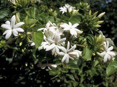 jasmine+flowers+%282%29.jpg (400×300)