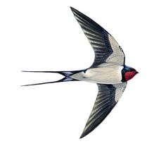 Swallow – very defined forked tail and red on the head. Swallows swoop low over fields and watercourses preying on larger insects...from RSPB