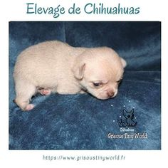 Caractère du Chihuahua - Grisous'Tiny World - Elevage de chihuahua LOF Le Chihuahua, Chihuahuas, Ferret, Adopt A Puppy, Tips, Animaux, Chihuahua Dogs, Chihuahua, Ferrets