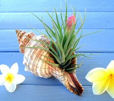 A striped fox conch shell with a blooming air plant inside (may or may not be in bloom at time they only bloom Once in entire life) The shell is a tan color with stripes going around. The shell is around 5-7 inches long and the whole thing (plant included) stands about 6 inches tall give