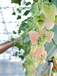 pineberries; looks like strawberries, tastes like pineapple. Must try....