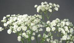 gypsophila - baby's breath - comes in pink or white and is available all year. This will work well in a February wedding in the UK /England. Types Of Flowers, Green Flowers, Cut Flowers, Wild Flowers, Winter Wedding Flowers, Green Wedding, Floral Wedding, Gypsophila Flower, February Wedding