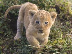animales, leones - wallpaper naturaleza - 640x480