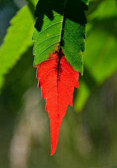 091914 sumac ~ 1st leaves to turn red ~ Green & Red.  Staghorn sumac