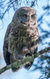 #wildlife #photography #birds #owl ghostbearphotography.com