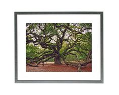 Angel Oak Tree Print, Charleston Photography, Angel Oak Photography Charleston Art, South Carolina Photography, Nature Landscape, Forest Art. The Angel Oak Tree, SC An stunning print of, probably, the most ancient oak in North America agred in more than 400 years. His majestic presence fills the air from any corner of your house or office. Its massive, draping limbs and wide spreading canopy present the aura of an angel but the naming of this tree was acquired from the tree's previous…