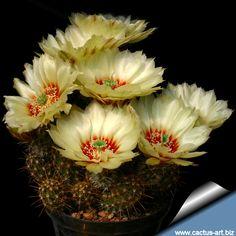 Immagine di http://www.cactus-art.biz/schede/ECHINOCEREUS/Echinocereus_papillosus/Echinocereus_papillosus_angusticeps/Echinocereus_papillosus_angusticeps_810.jpg.