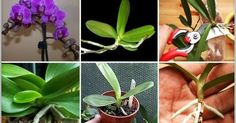 Tips from specialists. How Orchids Multiply: Three Safe Methods
