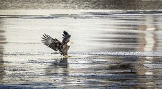 This American Adult Bald Eagle has just touched down onto the ice. I just love the lighting and reflections on the ice. Touch Down, Eagles, Bald Eagle, Ice, Birds, Detail, American, Lighting, Animals