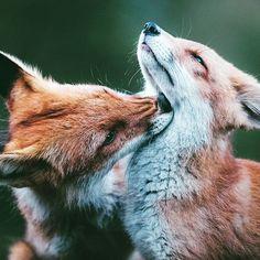 Fox love