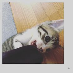 ❁ ama*neco's〜ki〜 歯がカユイ。 ❁ #ねこ#ネコ#猫#愛猫#ねこ部#ねこら部 #子猫#仔猫#里親募集#里親募集中#里親募集 滋賀県#5レンニャイ#cat#cats#catsagram#catstagram#catlover#catlovers#かわいい#大好き#insta#instagram