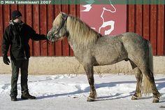 Icelandic Horse - stallion Geysir frá Fögruhlíð