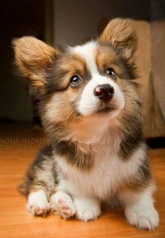 Such a cute Corgi puppy! : Such a cute Corgi puppy! Cute Corgi Puppy, Corgi Dog, Husky Puppy, Cute Baby Animals, Animals And Pets, Funny Animals, Beautiful Dogs, Animals Beautiful, Welsh Corgi Pembroke