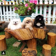 best images, photos and pictures about pekingese dog - oldest dog breeds