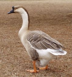 Brown Chinese Goose, I think that they are beautiful
