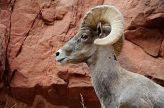 Bighorn Sheep Head