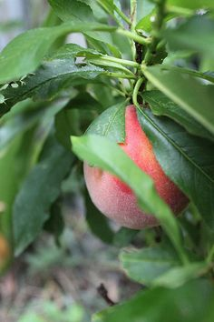 Dwarf Fruit Trees for Small-Space Gardens