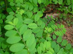 Planta Quebra-Pedras : Para Que Serve, Chá, Efeitos Colaterais