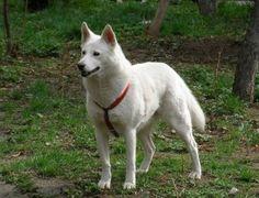 Korean Jindo, Chindo, Jindo Dog, Jindo Gae, JindoGae  Height :17-22 inches (43-56 cm)  English name: Jindo  Country of Origin: South Korea  Weight :30-45 pounds (13.5-20.5 kg)  Hair length: Short hair  Function: Working Dog | Hunting Dog  Life: About 12-15 years.want