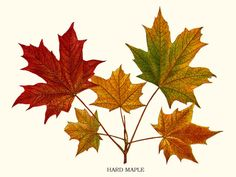 Maple giclee print via Charting Nature. Also available as part of a notecard set. http://www.chartingnature.com/tree-print.cfm/Maple-tree-art-print/6637