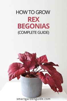 Complete Rex Begonia care guide. I cover all aspects of Begonia Rex care, including how to prevent and fix common problems, and keep your plants thriving year after year. Easy Care Indoor Plants, Indoor Flowering Plants, Blooming Plants, Outdoor Plants, Air Plants, Smart Garden, House Plant Care, Garden Guide, Begonia