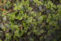 Liverwort moss / credit Chris So