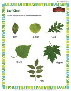 Leaf Shapes Science Shapes Worksheets Plant Lessons
