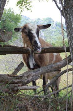 Cómo usar ivermectina inyectable y su dosis para una cabra