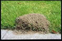 To kill fire ants pour 2 cups club soda directly in th center of the mound.