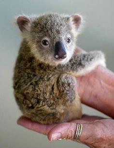 The Tiniest Koala