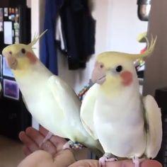 The parrot sings beautifully : Funny Animals Funny Birds, Cute Birds, Cartoon Birds, Funny Deer, Cute Animal Videos, Funny Animal Pictures, Easy Pictures, Cute Little Animals, Cute Funny Animals