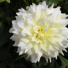 Yellow Bloom