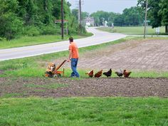 LOL, our chickens following my husband tilling the garden!!!  LOVE it!
