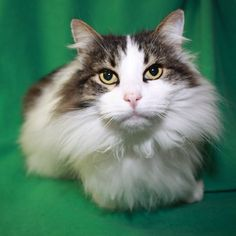 Bernie is relaxed, easy going and doesn't like to make a fuss. He prefers to be an indoor cat and will need regular brushing to keep his long coat looking nice.
