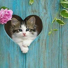 Tabby Kitten Looking Through Heart Cutout In Fence Photographer:Klein-Hubert