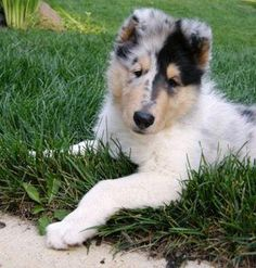 My favorite dog is the collie.