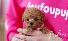 Welcome to FouFou Puppies. The Home of the World's Most Exquisite Micro Teacup Puppies for Sale. Ask for Our 'Special Order' Option. We Can Locate Your Dream Puppy! Contact Us Today to Reserve Your Teacup Puppy! Teacup Poodles For Sale, Teacup Poodle Puppies, Teacup Puppies For Sale, Tea Cup Poodle, Yorkie Puppy For Sale, Poodle Puppies For Sale, Tiny Puppies, Lab Puppies, Poodle Mix Breeds